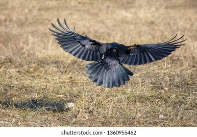 Black craw flying over a meadow