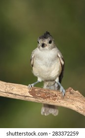 Black crested titmouse on a branch