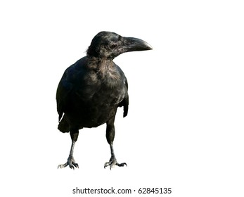 Black crow with big beak  from the side on a white background.
