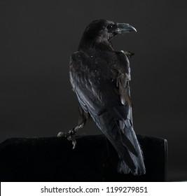 Black crow bird on a black background. Black feathers. Black raven