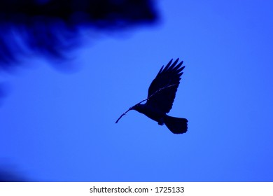 Black crow building nest