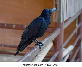 Black crow, Corvus corone, common crow perched on a steel fence