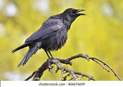 Black crow, Corvus corone, common crow