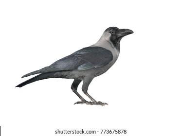 Black crow. Isolated