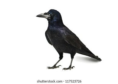 black crow isolated on white