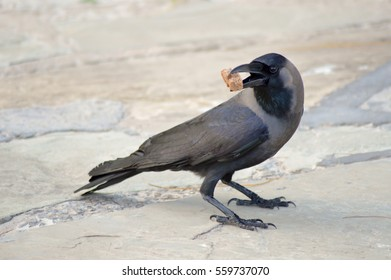 Black Crow laid on stone floor with a piece of bread in the beak in Mombasa, Kenya