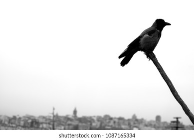 black crow on the branch on the city background