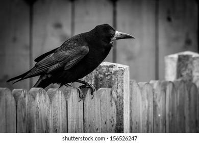 black crow on fence
