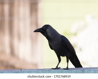 Black crow on wall - close up short