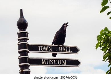 Black crow with open beak sitting on metal town hall and museum sign. Funny town scene. Bird singing on arrow direction sign.
