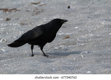 Black Crow or Raven on the beach sand