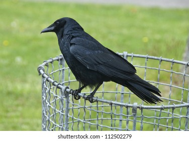 A black crow sitting on a trash can at a park