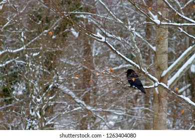 A black crow in a snowy forest perched on a tree branch in winter