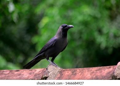 Black Crow in Sri Lanka