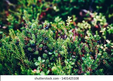 Black Crowberry (Empetrum nigrum L.) close-up in summer forest, Finland Lapland
