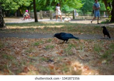 Black crown is eating in the park.