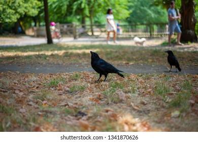 Black crown in the park.
