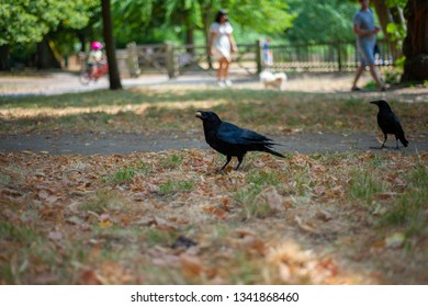 Black crown is trying to eat a peanut in the park.