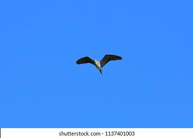 Black crowned night heron (Goisagi) is flying elegantly in ble sky back