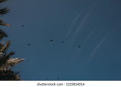 black crows flaying near palms
