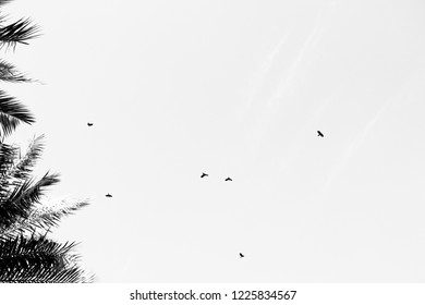 black crows flaying near palms ,black and white photo