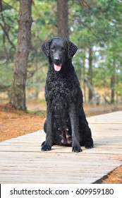 Black curly coated retriever girl in forest