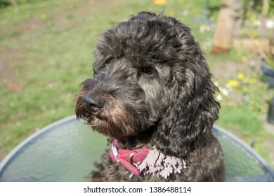 Black curly haired Cockapoo sitting in the garden on a spring day, enjoying the sunshine. Her head upturned to the sky, posing for the camera.