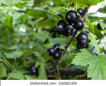the black currant berries on a Bush close-up
