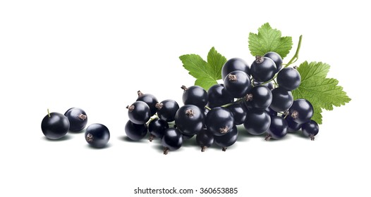 Black currant branch fresh isolated on white background as package design element