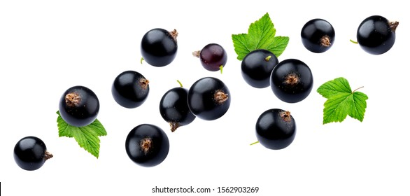 Black currant collection isolated on white background close-up, with clipping path, falling juicy berries of blackcurrant with fresh leaves