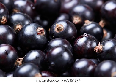 Black currant .Fresh berries.Harvest of berries.Closeuo.Selective focus