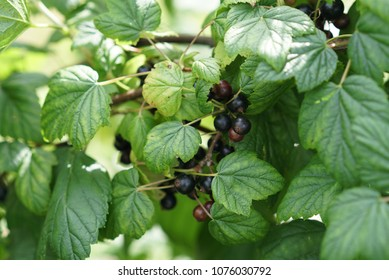 Black currant growing in the garden on a summer day, Bunch of black currant fruits with leaf,Black currants bush and sunlight,ripe berries on a branch.Closeup of black currant growing naturally