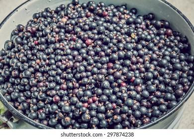 Black currants in a bucket