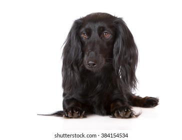 black dachshund dog