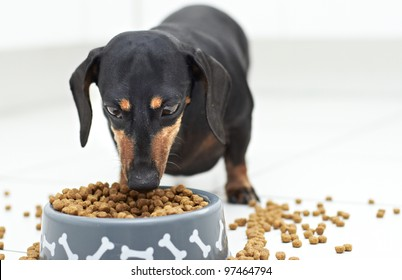 Black Dachshund dog guarding and eating food