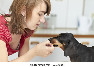 Black Dachshund dog receiving a treat from young lady owner
