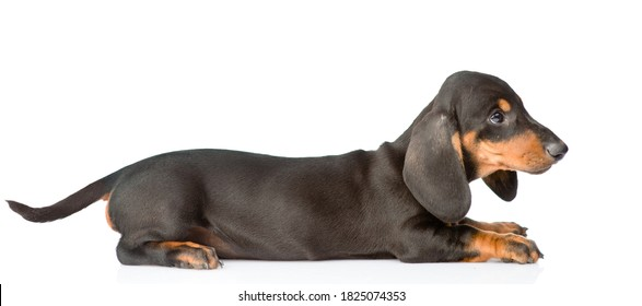 Black dachshund puppy lying in profile. isolated on white background