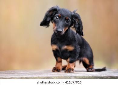 black dachshund puppy portrait outdoors