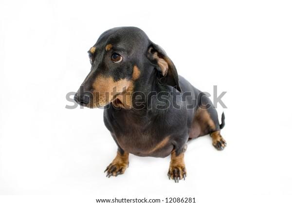black dachshund sausage dog sitting on bum