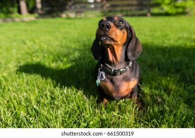 Black dachshund sitting on a green grass