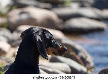 black dachsund looking intently