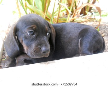 Black dachsund puppy