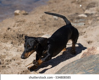 black dachsund running on the sand