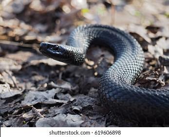 Imágenes, fotos de stock y vectores sobre Big Black Snake