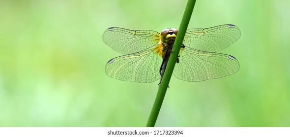 Black darter dragonfly at rest, Cors Caron, Tregaron Bog, Wales, UK