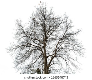 Black dead tree branches with clipping path isolated on white background.