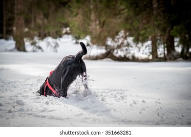 A black digging in the snow