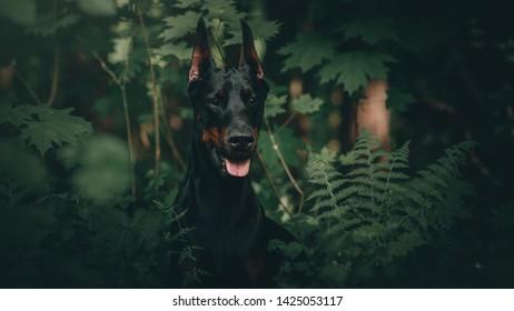 Black Doberman Pinscher outside beautiful
