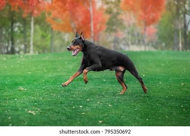 Black doberman pinscher runs on green grass