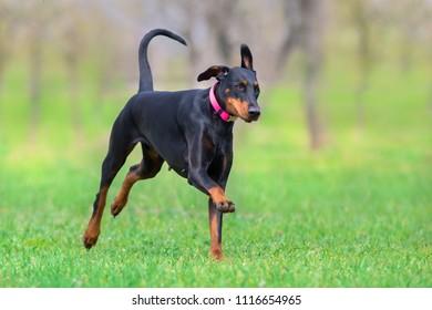 Black doberman run fast in spring field in park